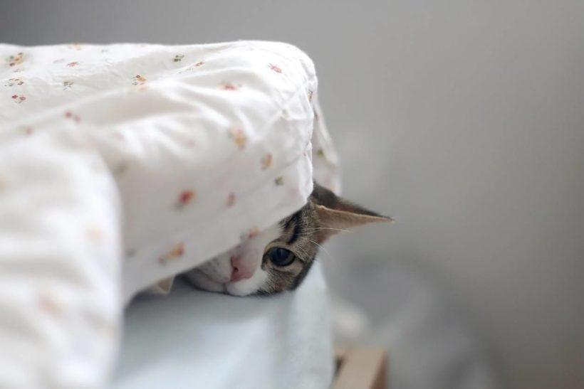 Un chat sous la couette